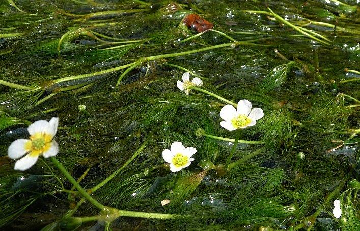 梅花藻 2_c0154941_22534165.jpg