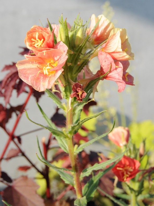 とてもいい花色! オエノテラ バーシカラー などなど ^^_f0191870_7332416.jpg