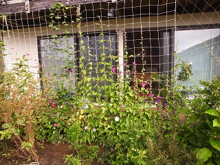 お盆の緑のカーテン_f0059988_8582035.jpg