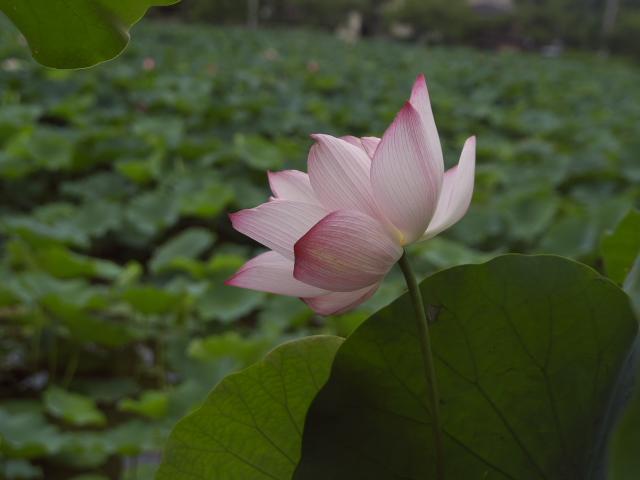 故郷の風景 高田公園の蓮_f0024992_8123694.jpg