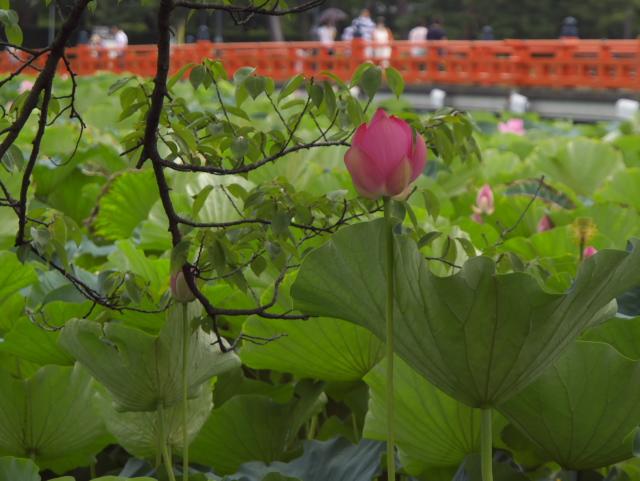 故郷の風景 高田公園の蓮_f0024992_8265116.jpg