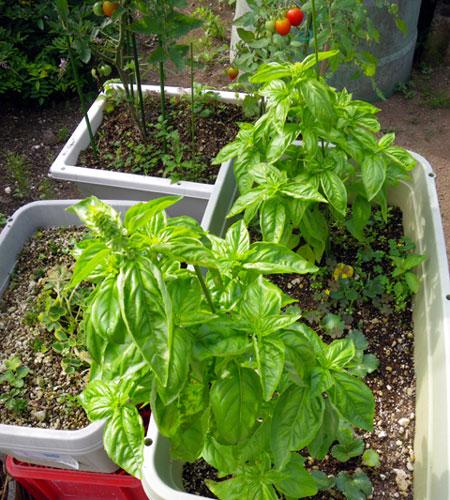 この夏の収穫は、ミニトマトと小さなニンニク^^_a0136293_1638130.jpg