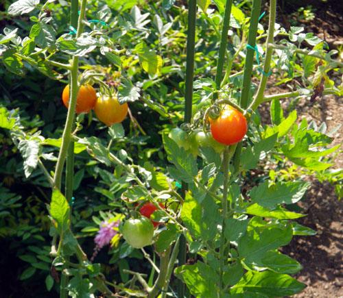 この夏の収穫は、ミニトマトと小さなニンニク^^_a0136293_1640058.jpg
