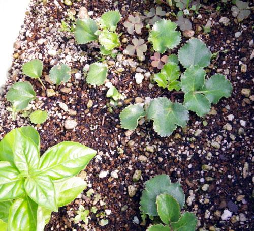 この夏の収穫は、ミニトマトと小さなニンニク^^_a0136293_16425274.jpg