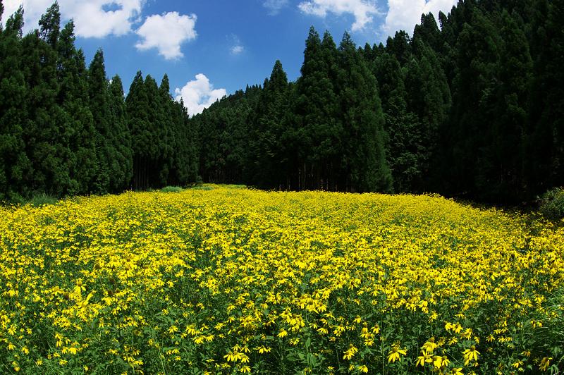 京都・ルドベキアが綺麗で美しい花畑
