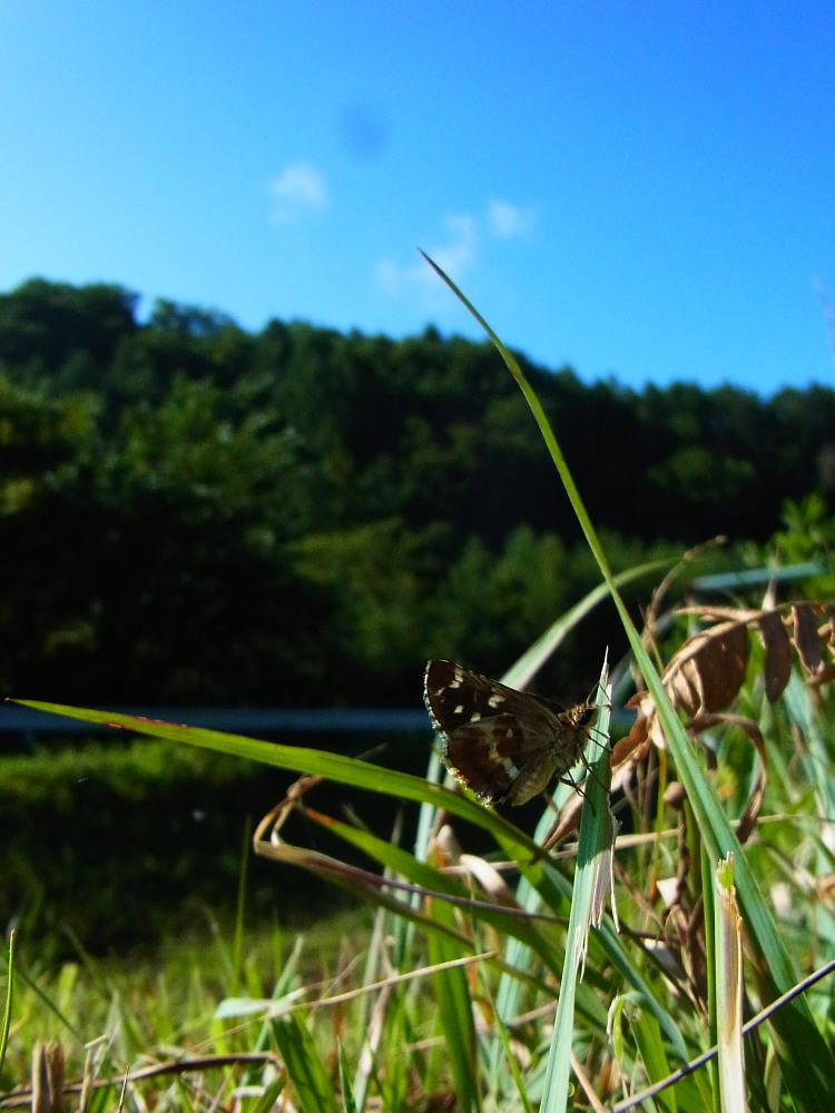 チャマダラセセリ  夏はこんなに閉じるものかな。  2011.8.14長野県_a0146869_229530.jpg