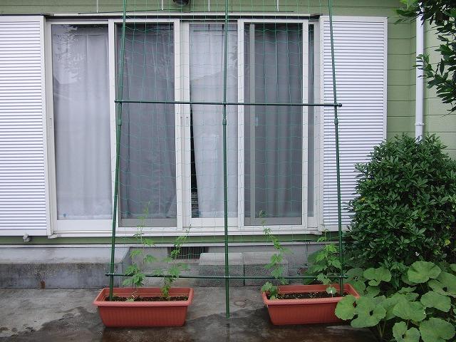 「緑のカーテン」よりやっぱり「ゴーヤの実」?_f0141310_7164262.jpg