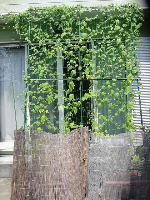 「緑のカーテン」よりやっぱり「ゴーヤの実」?_f0141310_7175546.jpg