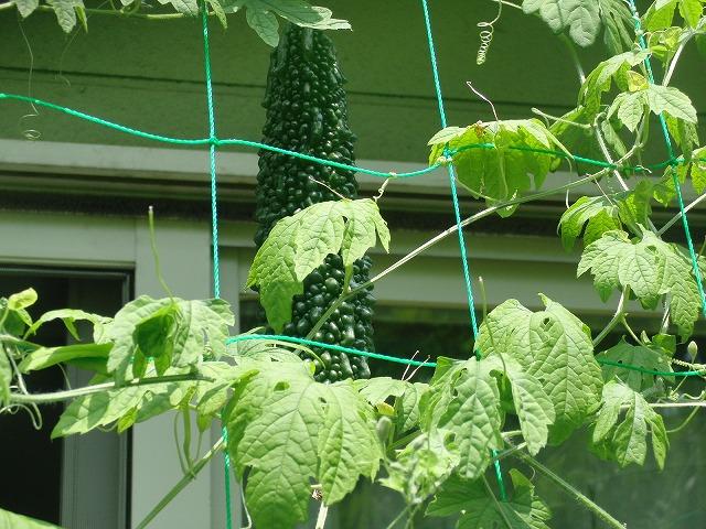 「緑のカーテン」よりやっぱり「ゴーヤの実」?_f0141310_7181081.jpg