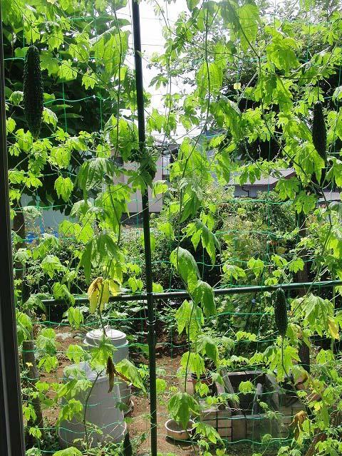 「緑のカーテン」よりやっぱり「ゴーヤの実」?_f0141310_718254.jpg