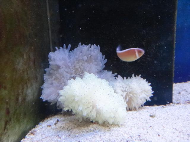 海水魚・サンゴ・水草・淡水魚_f0189122_13145937.jpg