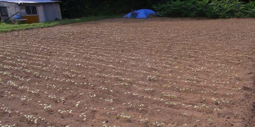 蕎麦の発芽が揃う_c0063348_1273275.jpg