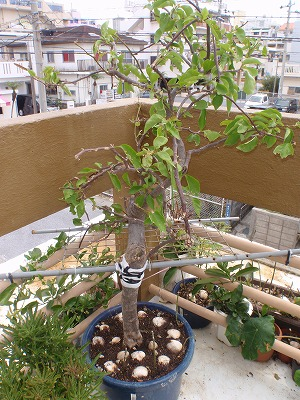 植木の手入れ_c0180460_1691637.jpg