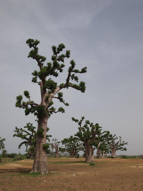 神の逆鱗に触れた大木、バオバブ☆_b0207873_10332970.jpg