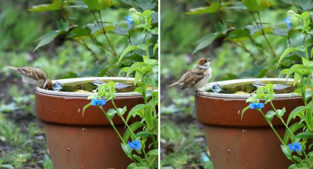 黄色い嘴の子雀と、オオボウシバナ♪_a0136293_19443887.jpg