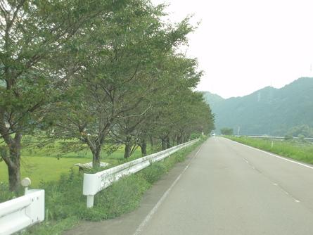 県道洞戸美濃線の桜並木の功罪(8/18)_b0226723_955406.jpg