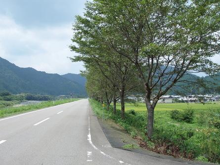 県道洞戸美濃線の桜並木の功罪(8/18)_b0226723_9565113.jpg