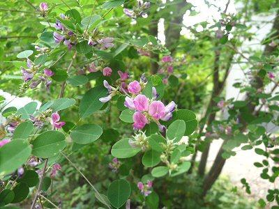 萩の花咲く_f0019247_10253547.jpg