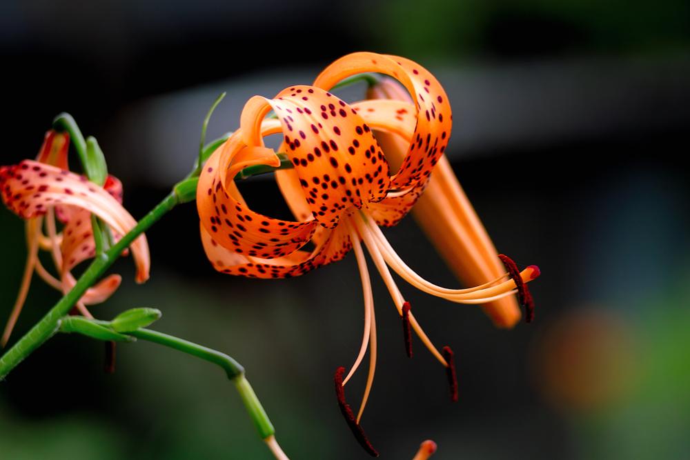 夏のお花めぐり ~オニユリの頃~_c0223825_11253177.jpg