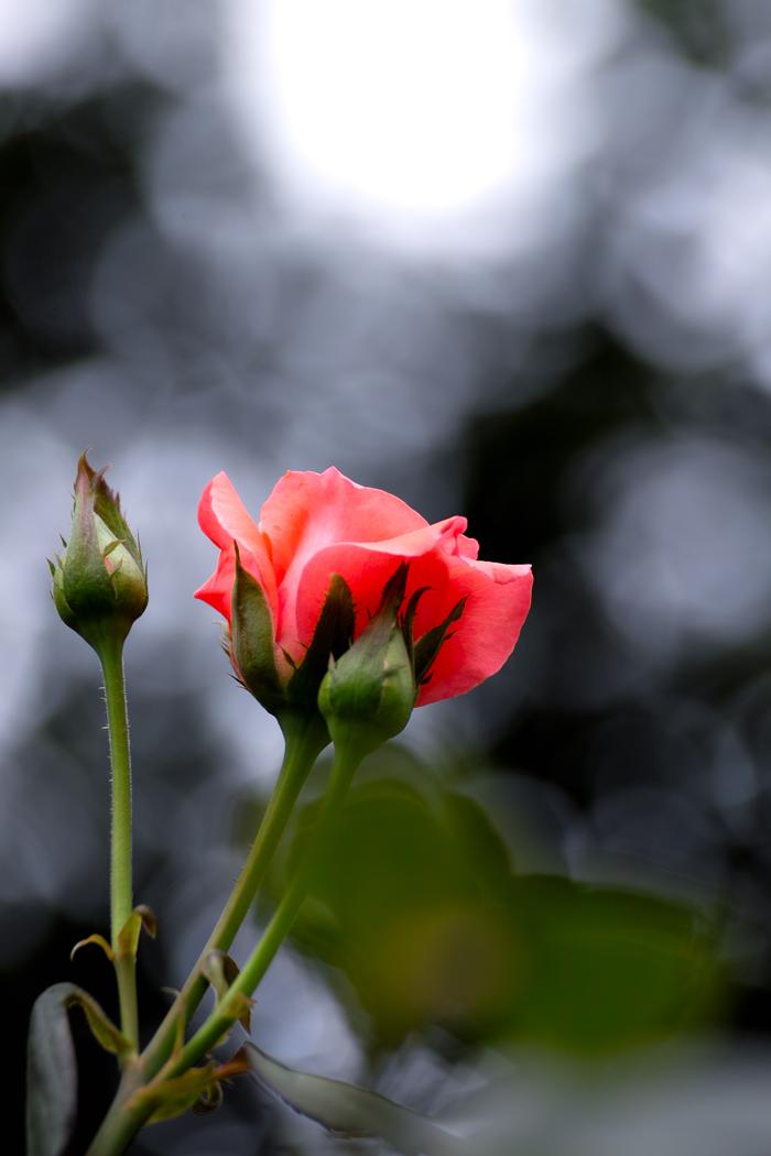 夏のお花めぐり ~オニユリの頃~_c0223825_12161612.jpg