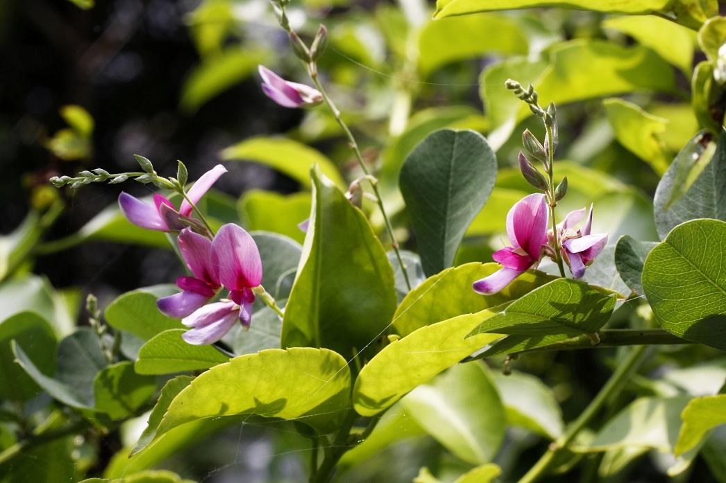 秋の香りに想う             アイスバーグ ハギ_a0107574_013323.jpg