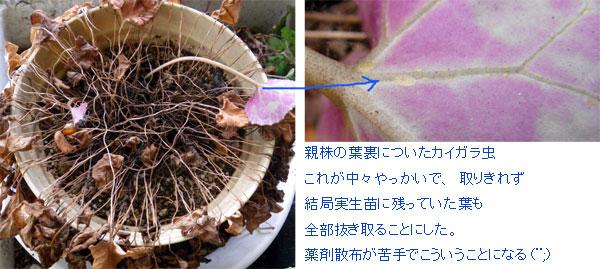 実生のミニシクラメン 夏越し後の植え替え_a0136293_18583421.jpg