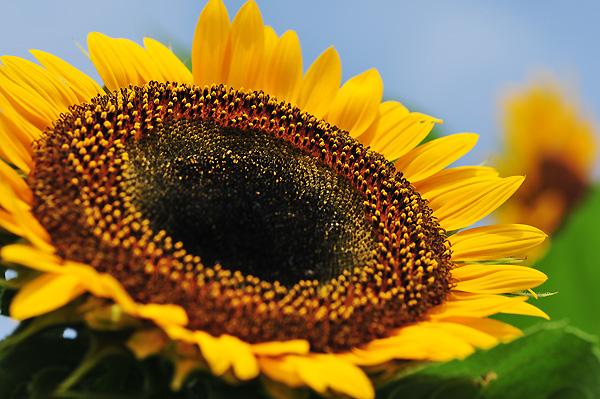 向日葵 <桃子>_f0215496_16582384.jpg