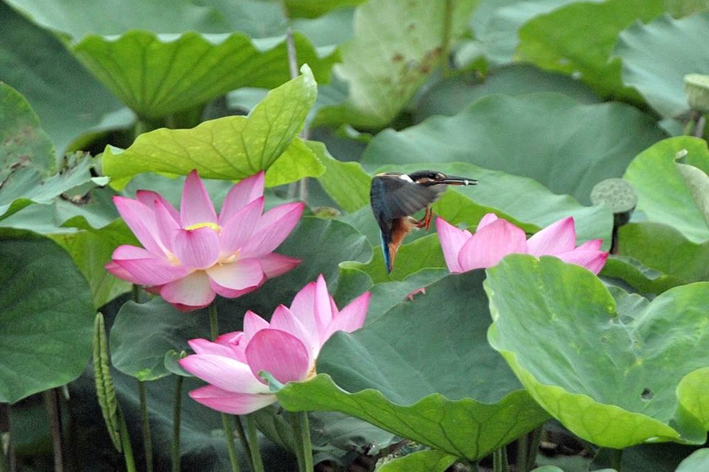 今年の「蓮カワセミ」(その3)/公園の池のウシガエル_b0024798_10471853.jpg