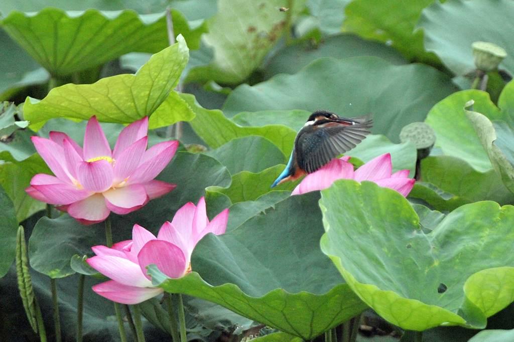 今年の「蓮カワセミ」(その3)/公園の池のウシガエル_b0024798_1047329.jpg