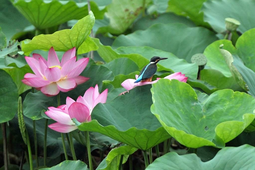 今年の「蓮カワセミ」(その3)/公園の池のウシガエル_b0024798_10475078.jpg