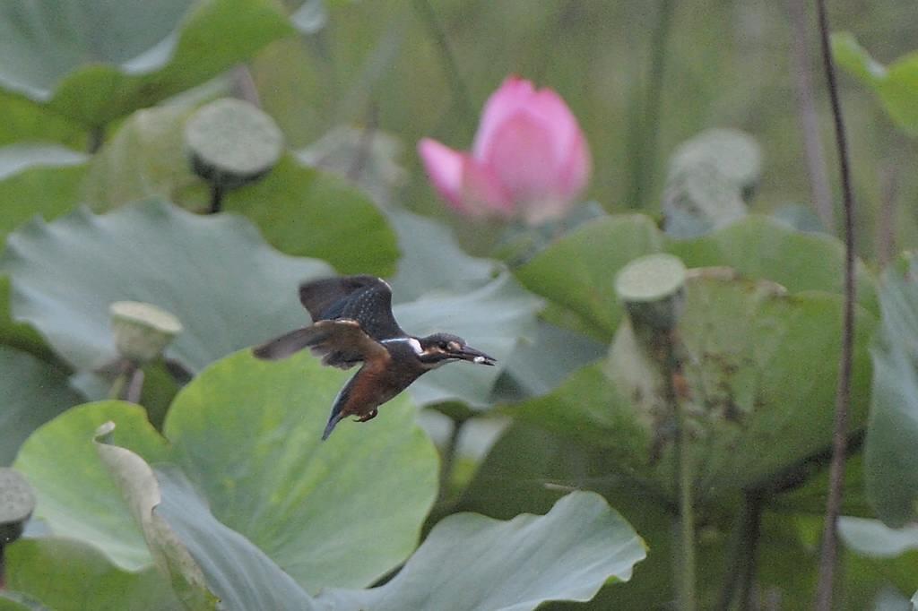 今年の「蓮カワセミ」(その3)/公園の池のウシガエル_b0024798_10475915.jpg