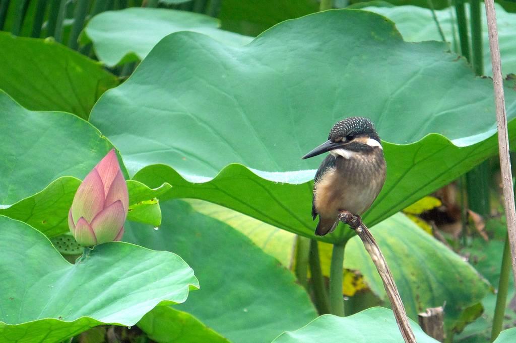 今年の「蓮カワセミ」(その3)/公園の池のウシガエル_b0024798_10482780.jpg