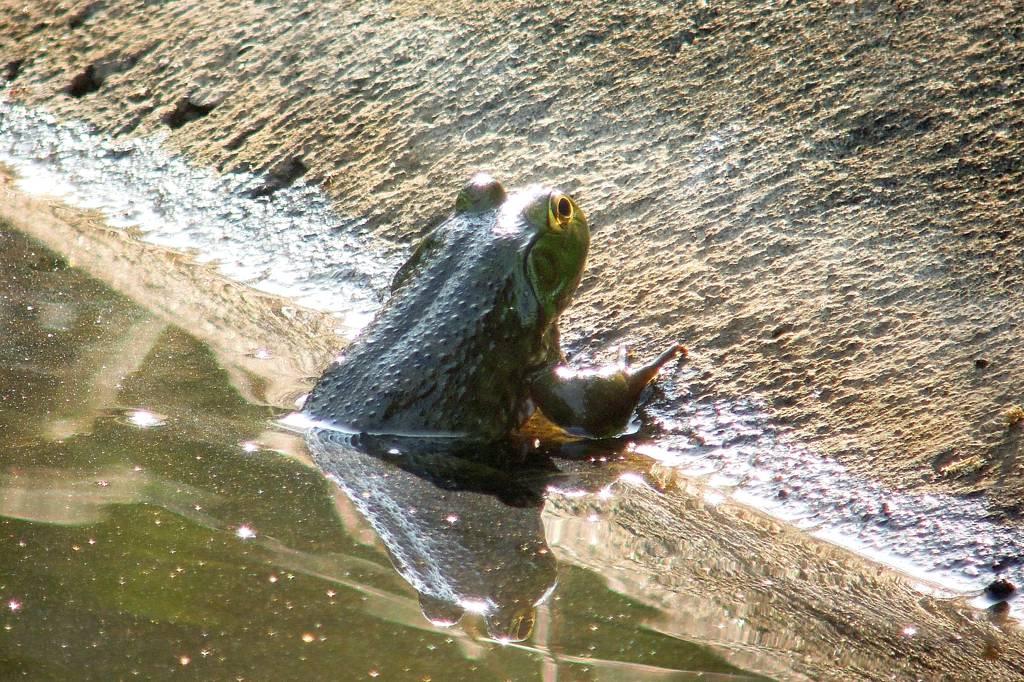 今年の「蓮カワセミ」(その3)/公園の池のウシガエル_b0024798_10513180.jpg