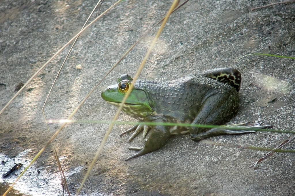 今年の「蓮カワセミ」(その3)/公園の池のウシガエル_b0024798_1052284.jpg