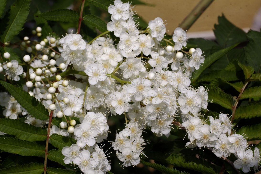 長く咲き続ける花        ムクゲ  ニワナナカマド_a0107574_0393879.jpg