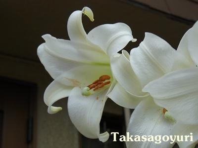 タカサゴユリ2