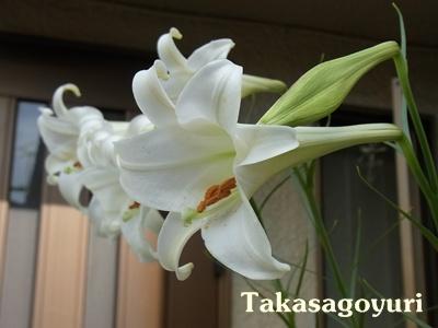 タカサゴユリ1