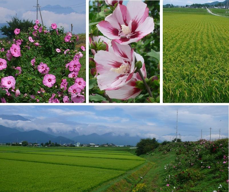 かかし村と芙蓉と北アルプス_a0212730_16485279.jpg