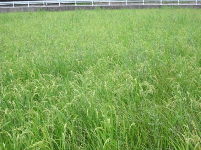 草とお米の背比べ_e0181260_20582336.jpg