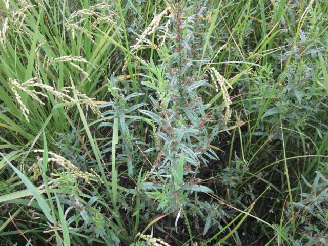 草とお米の背比べ_e0181260_2123421.jpg