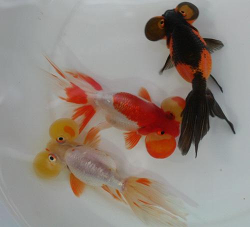 金魚が大量入荷!_c0165800_0492665.jpg