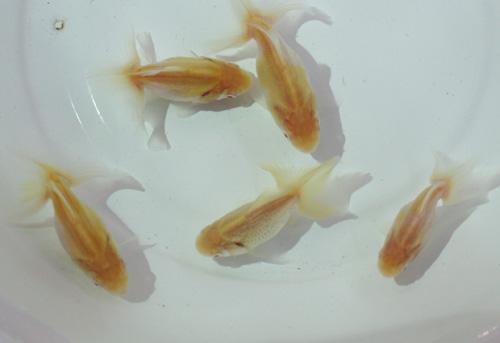 金魚が大量入荷!_c0165800_117176.jpg