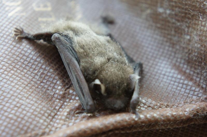 蝙蝠(こうもり)  2011.8.23_e0223771_22572653.jpg