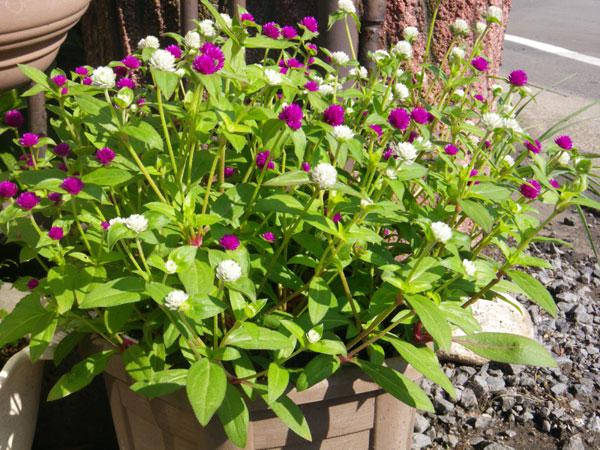 ようやく咲いたメガネツユクサなど♪_a0136293_1557145.jpg
