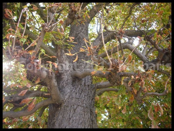 【パリの木】マロニエが大変・・・・(PARIS)_a0008105_2130766.jpg