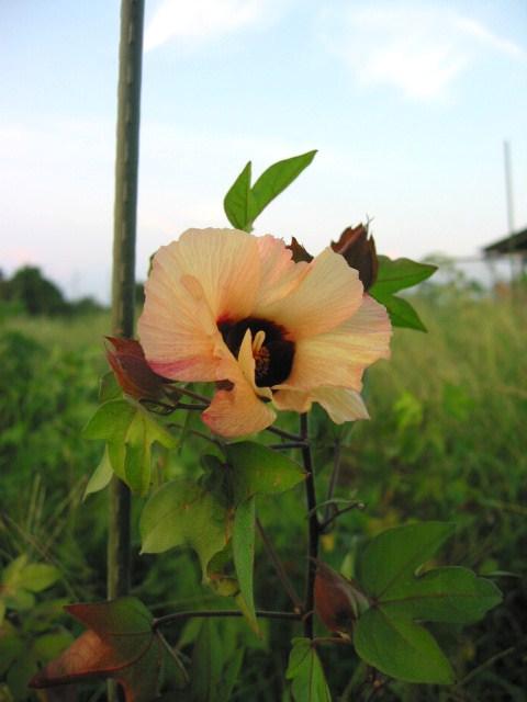 「棉畑 Aug-2011」_a0120513_20153799.jpg