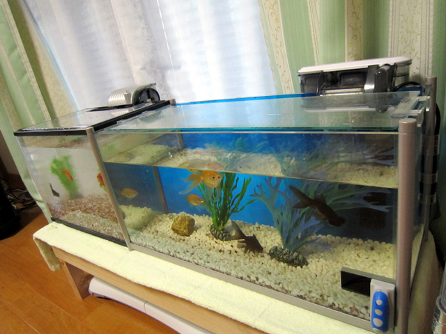 阿野裕行、またまた新しい金魚に心を持って行かれる。_f0051464_20482820.jpg
