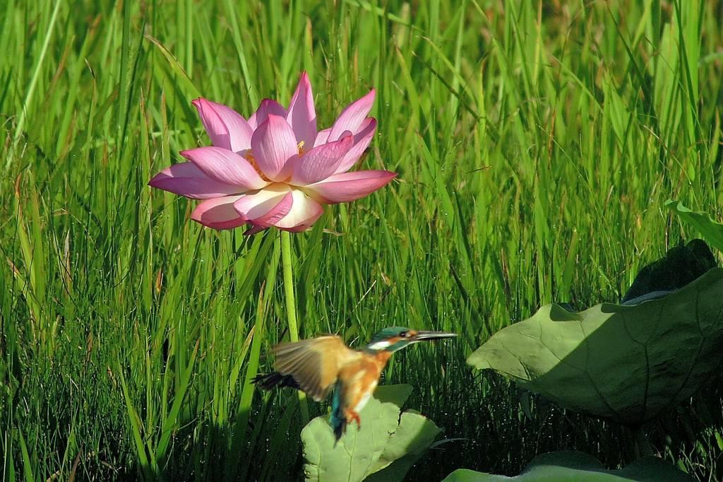 蓮カワセミ/名残の「夏の大三角形」_b0024798_926575.jpg