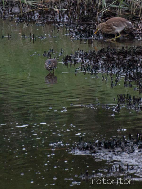 葛西臨海公園 アカガシラサギ+ササゴイ  2011/08/28_d0146592_0262074.jpg