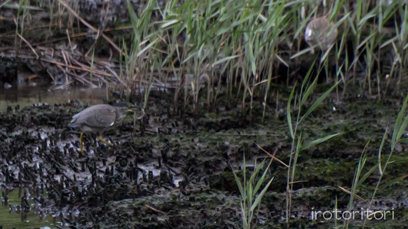 葛西臨海公園 アカガシラサギ+ササゴイ  2011/08/28_d0146592_026518.jpg